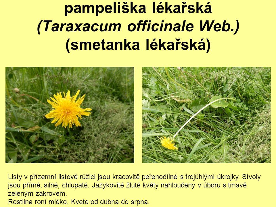 pampeliška lékařská (Taraxacum officinale Web.) (smetanka lékařská) Listy v přízemní listové růžici jsou kracovitě peřenodílné s trojúhlými úkrojky. S