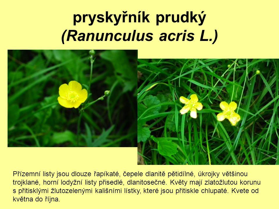 pryskyřník prudký (Ranunculus acris L.) Přízemní listy jsou dlouze řapíkaté, čepele dlanitě pětidílné, úkrojky většinou trojklané, horní lodyžní listy
