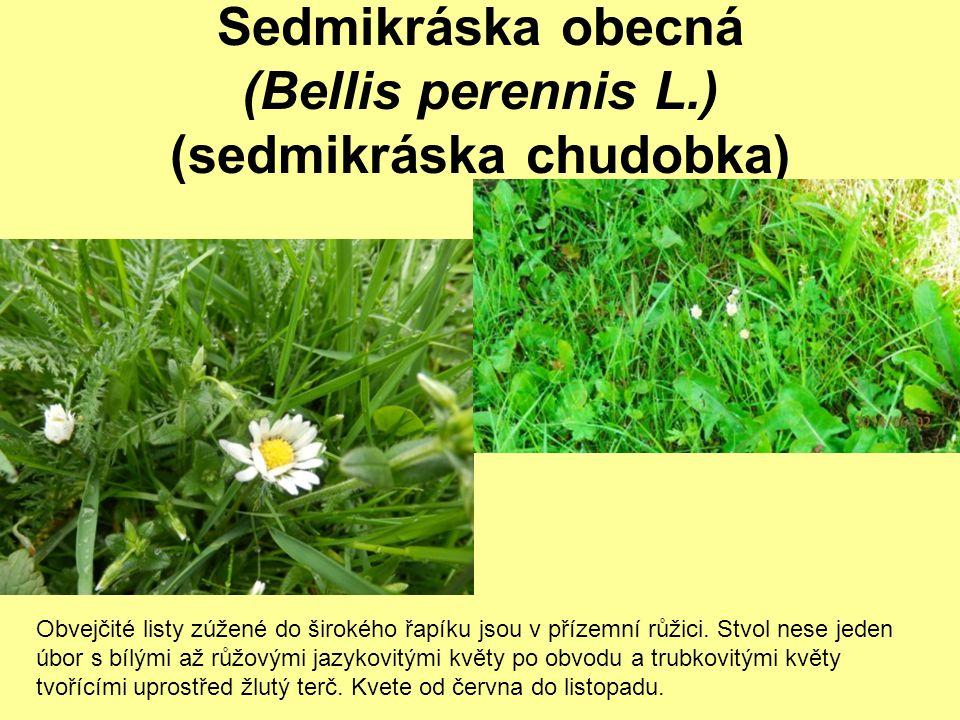 Sedmikráska obecná (Bellis perennis L.) (sedmikráska chudobka) Obvejčité listy zúžené do širokého řapíku jsou v přízemní růžici. Stvol nese jeden úbor