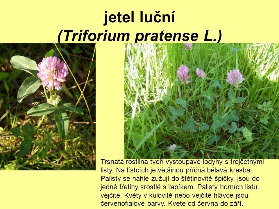 jetel luční (Triforium pratense L.) Trsnatá rostlina tvoří vystoupavé lodyhy s trojčetnými listy. Na lístcích je většinou příčná bělavá kresba. Palist