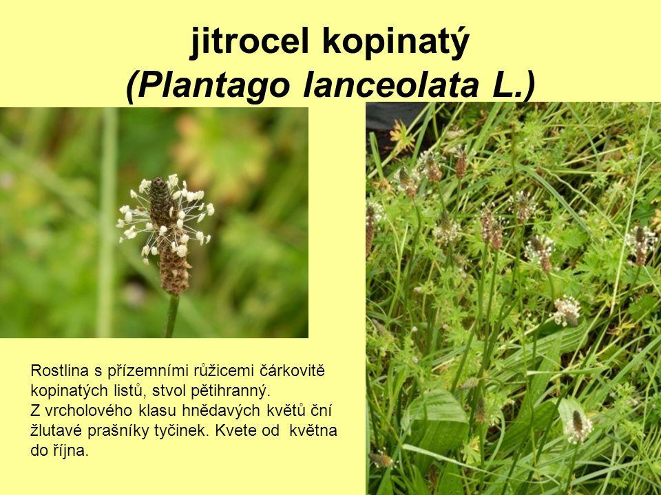 jitrocel kopinatý (Plantago lanceolata L.) Rostlina s přízemními růžicemi čárkovitě kopinatých listů, stvol pětihranný. Z vrcholového klasu hnědavých