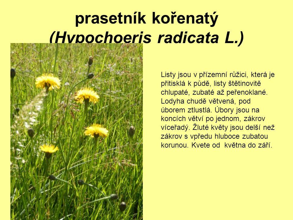 prasetník kořenatý (Hypochoeris radicata L.) Listy jsou v přízemní růžici, která je přitisklá k půdě, listy štětinovitě chlupaté, zubaté až peřenoklan