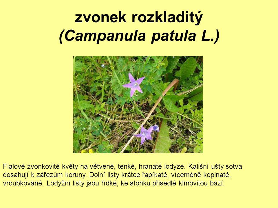 zvonek rozkladitý (Campanula patula L.) Fialové zvonkovité květy na větvené, tenké, hranaté lodyze. Kališní ušty sotva dosahují k zářezům koruny. Doln