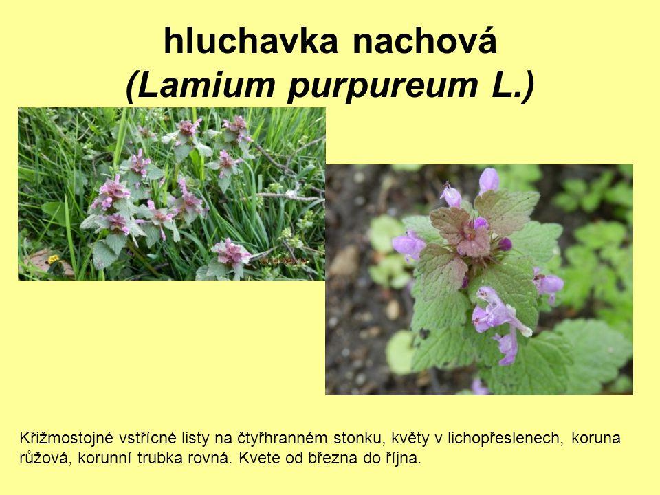 hluchavka nachová (Lamium purpureum L.) Křižmostojné vstřícné listy na čtyřhranném stonku, květy v lichopřeslenech, koruna růžová, korunní trubka rovn