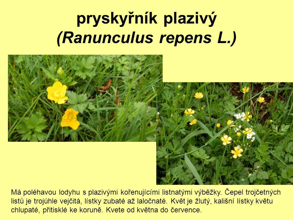 pryskyřník plazivý (Ranunculus repens L.) Má poléhavou lodyhu s plazivými kořenujícími listnatými výběžky. Čepel trojčetných listů je trojúhle vejčitá