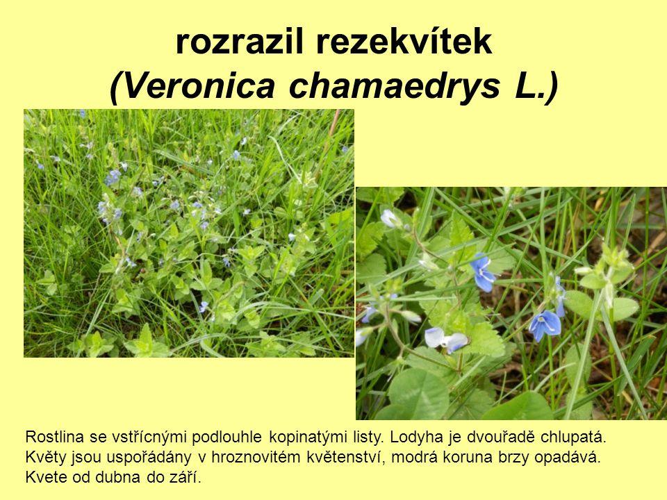 rozrazil rezekvítek (Veronica chamaedrys L.) Rostlina se vstřícnými podlouhle kopinatými listy. Lodyha je dvouřadě chlupatá. Květy jsou uspořádány v h