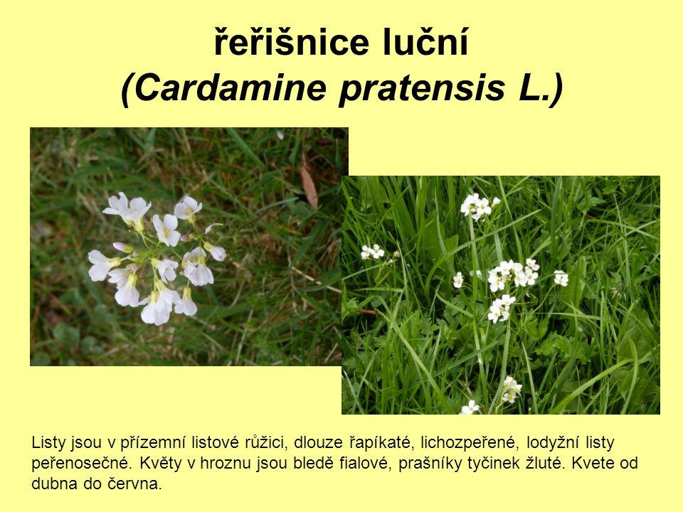 řeřišnice luční (Cardamine pratensis L.) Listy jsou v přízemní listové růžici, dlouze řapíkaté, lichozpeřené, lodyžní listy peřenosečné. Květy v hrozn