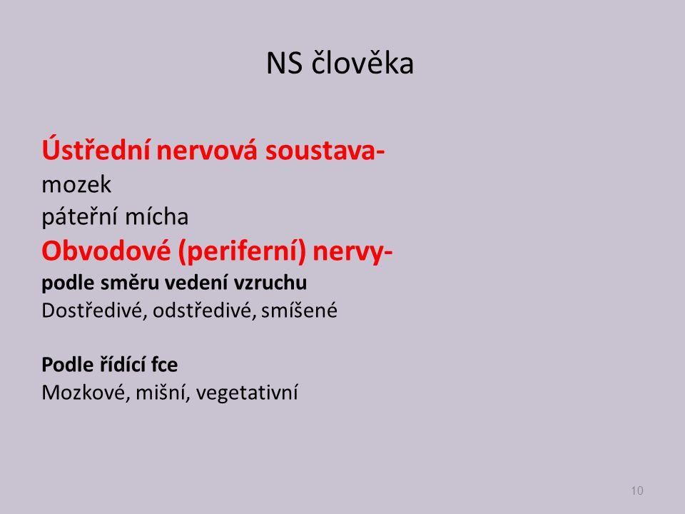 NS člověka Ústřední nervová soustava- mozek páteřní mícha Obvodové (periferní) nervy- podle směru vedení vzruchu Dostředivé, odstředivé, smíšené Podle