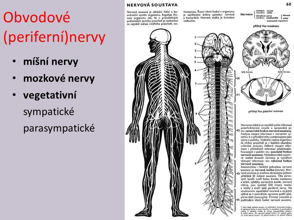 Obvodové (periferní)nervy 27 míšní nervy mozkové nervy vegetativní sympatické parasympatické