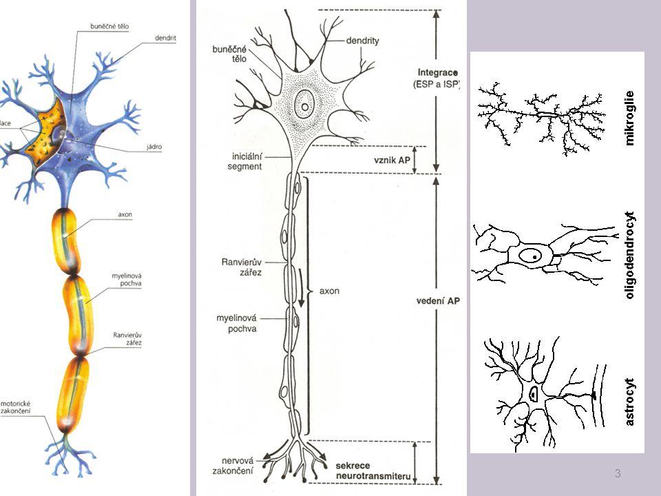 Šíření nervového vzruchu 4 polarizace buňky-klidový potenciál prahový podnět-podráždění-depolarizace b.,-akční potenciál(vzruch) repolarizace-návrat ke klidovému pot., -Na+-K+ pumpa