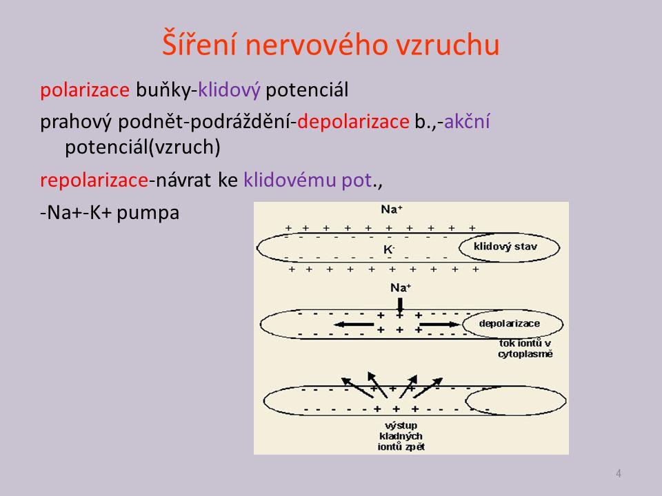 Šíření nervového vzruchu 4 polarizace buňky-klidový potenciál prahový podnět-podráždění-depolarizace b.,-akční potenciál(vzruch) repolarizace-návrat