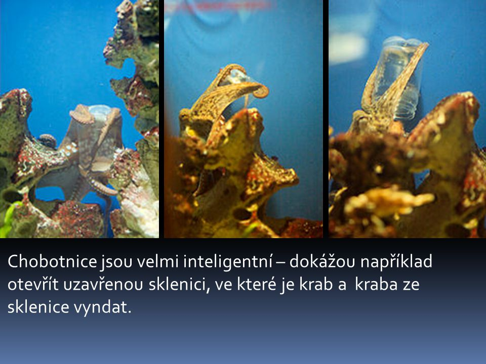 Chobotnice jsou velmi inteligentní – dokážou například otevřít uzavřenou sklenici, ve které je krab a kraba ze sklenice vyndat.