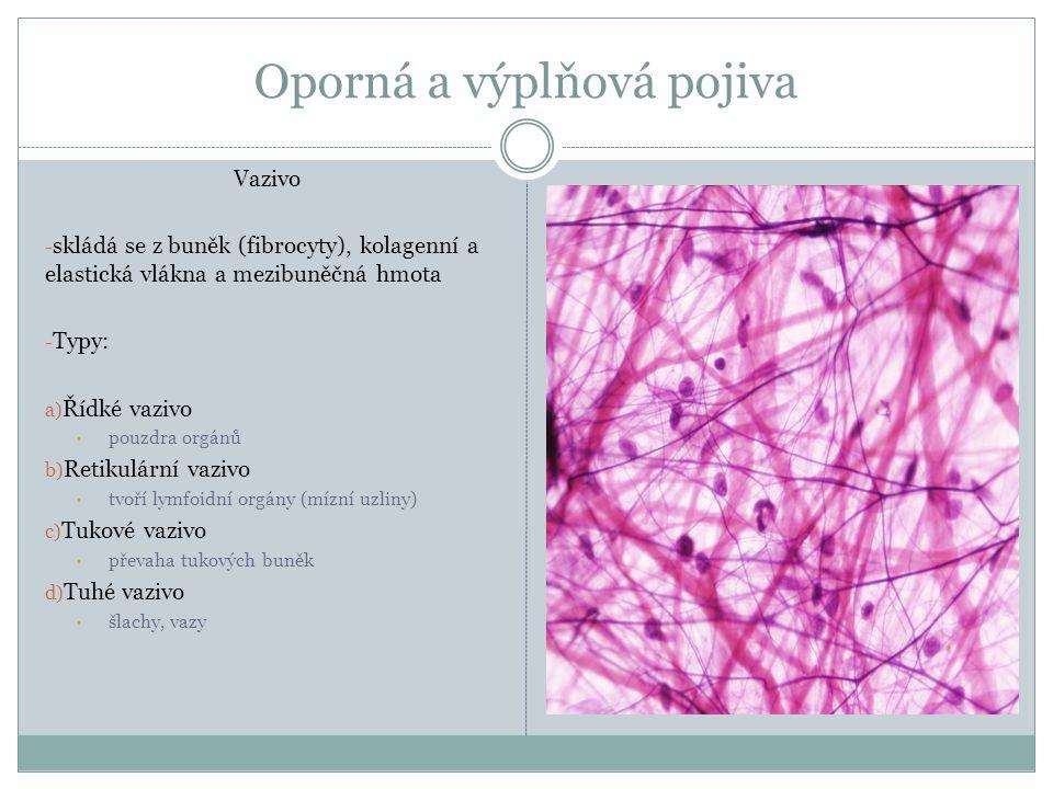 Oporná a výplňová pojiva Vazivo - skládá se z buněk (fibrocyty), kolagenní a elastická vlákna a mezibuněčná hmota - Typy: a) Řídké vazivo pouzdra orgá