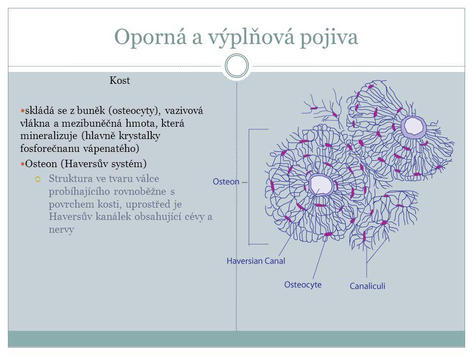 Oporná a výplňová pojiva Kost skládá se z buněk (osteocyty), vazivová vlákna a mezibuněčná hmota, která mineralizuje (hlavně krystalky fosforečnanu vá
