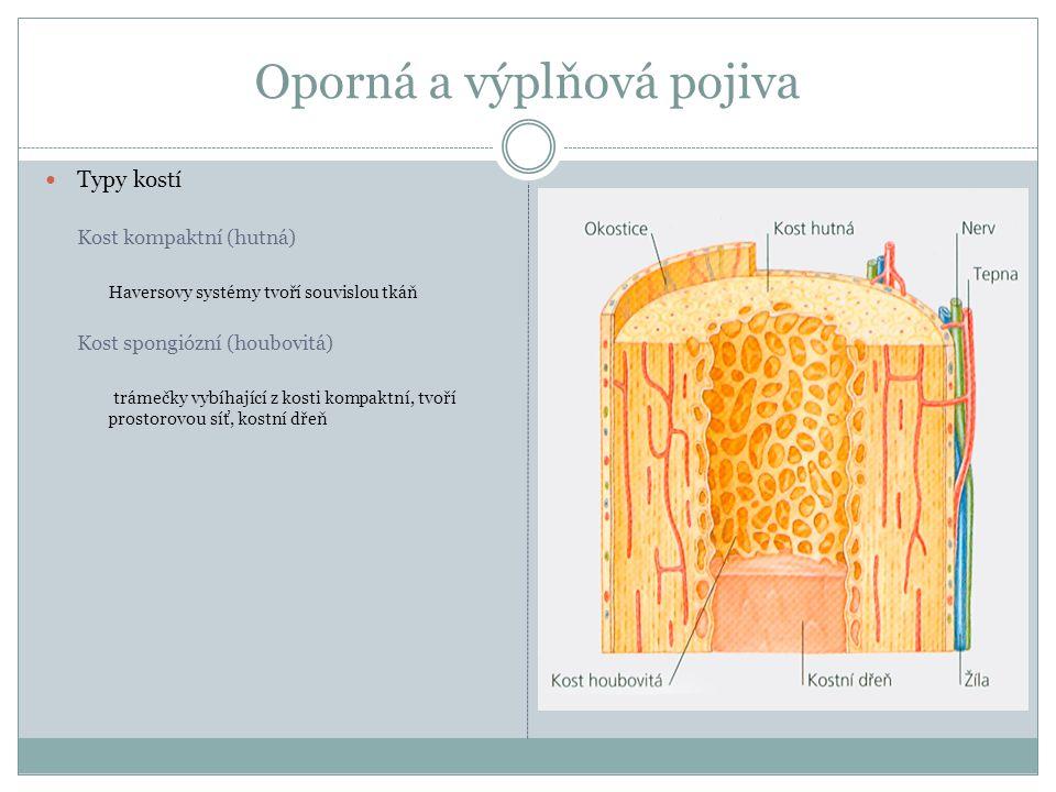 Oporná a výplňová pojiva Typy kostí Kost kompaktní (hutná) Haversovy systémy tvoří souvislou tkáň Kost spongiózní (houbovitá) trámečky vybíhající z ko