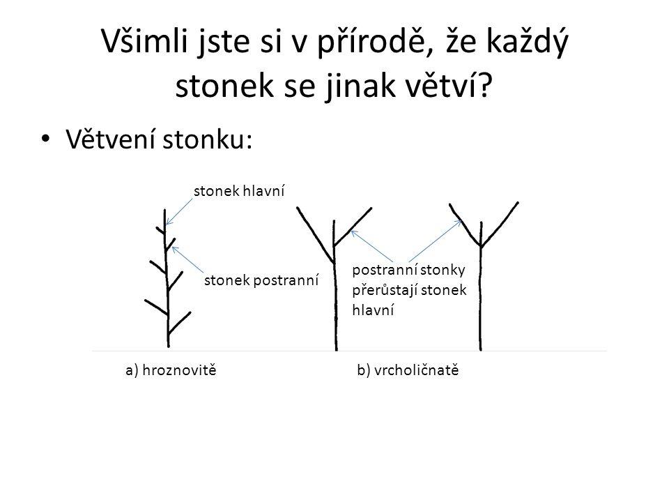 Všimli jste si v přírodě, že každý stonek se jinak větví? Větvení stonku: postranní stonky přerůstají stonek hlavní stonek hlavní stonek postranní a)