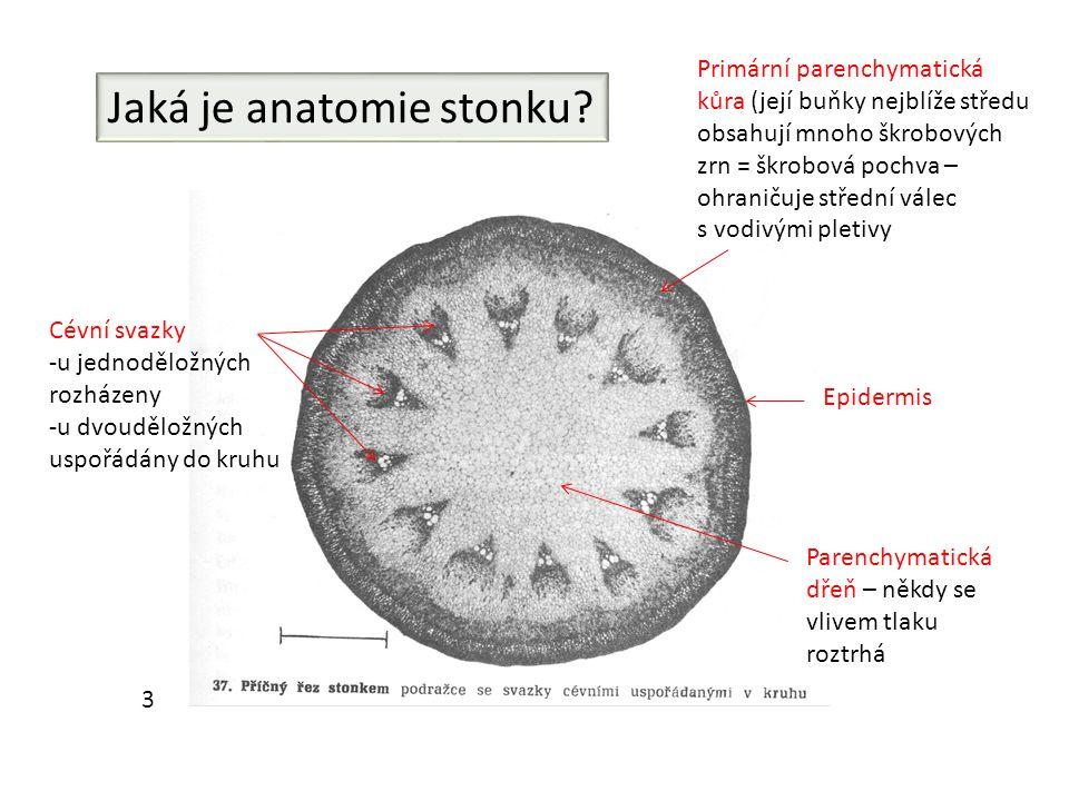 Jaká je anatomie stonku? Cévní svazky -u jednoděložných rozházeny -u dvouděložných uspořádány do kruhu Primární parenchymatická kůra (její buňky nejbl