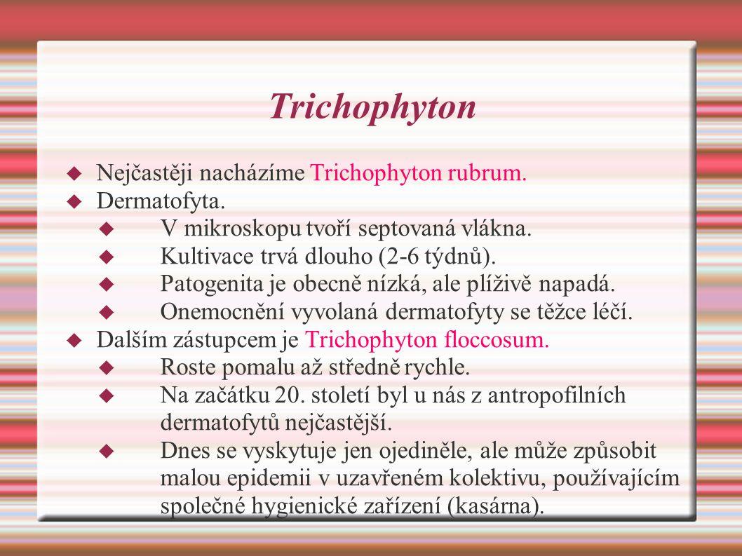 Trichophyton  Nejčastěji nacházíme Trichophyton rubrum.