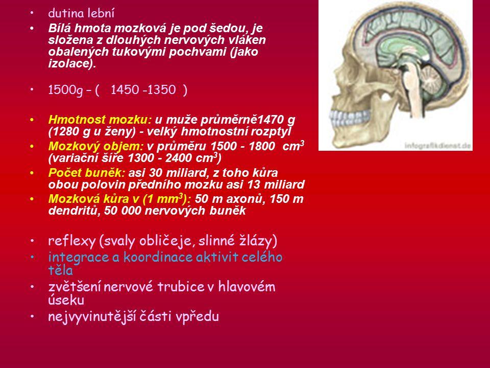 dutina lební Bílá hmota mozková je pod šedou, je složena z dlouhých nervových vláken obalených tukovými pochvami (jako izolace).