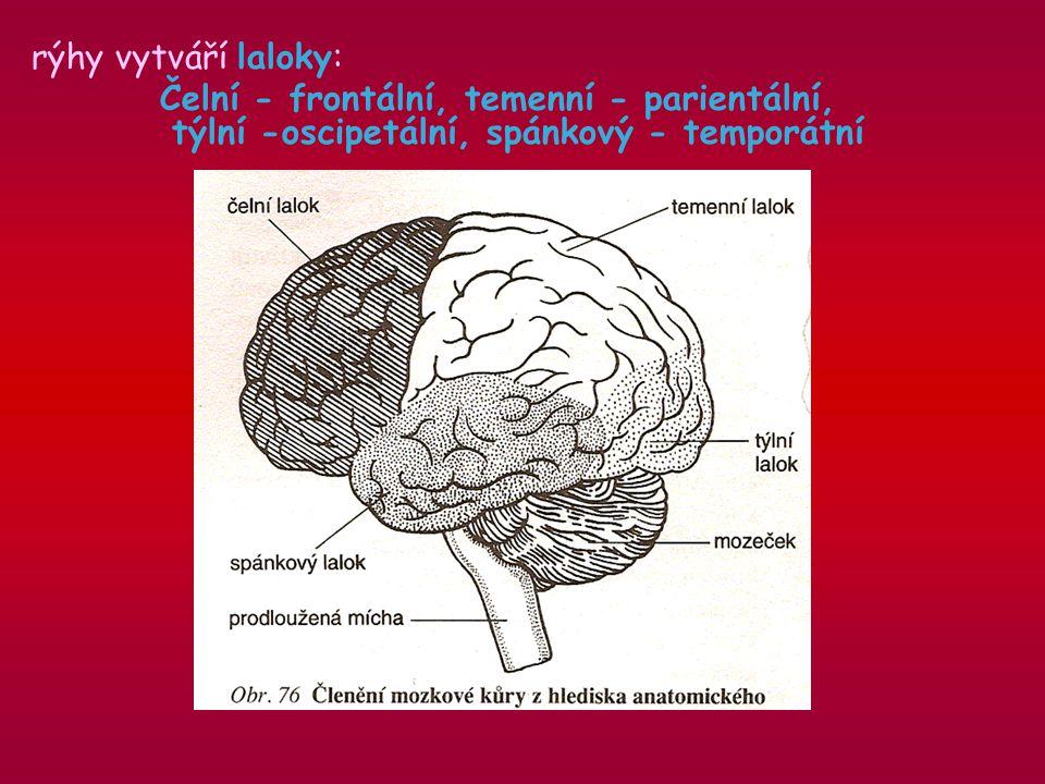 rýhy vytváří laloky: Čelní - frontální, temenní - parientální, týlní -oscipetální, spánkový - temporátní