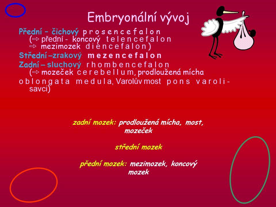 Embryonální vývoj Přední – čichový p r o s e n c e f a l o n ( ➾ přední - koncový t e l e n c e f a l o n ➾ mezimozek d i e n c e f a l o n ) S třední –zrakový m e z e n c e f a l o n Z adní – sluchový r h o m b e n c e f a l o n ( ➾ mozeček c e r e b e l l u m, prodloužená mícha o b l o n g a t a m e d u l a, Varolův most p o n s v a r o l i - savci ) zadní mozek: prodloužená mícha, most, mozeček střední mozek přední mozek: mezimozek, koncový mozek