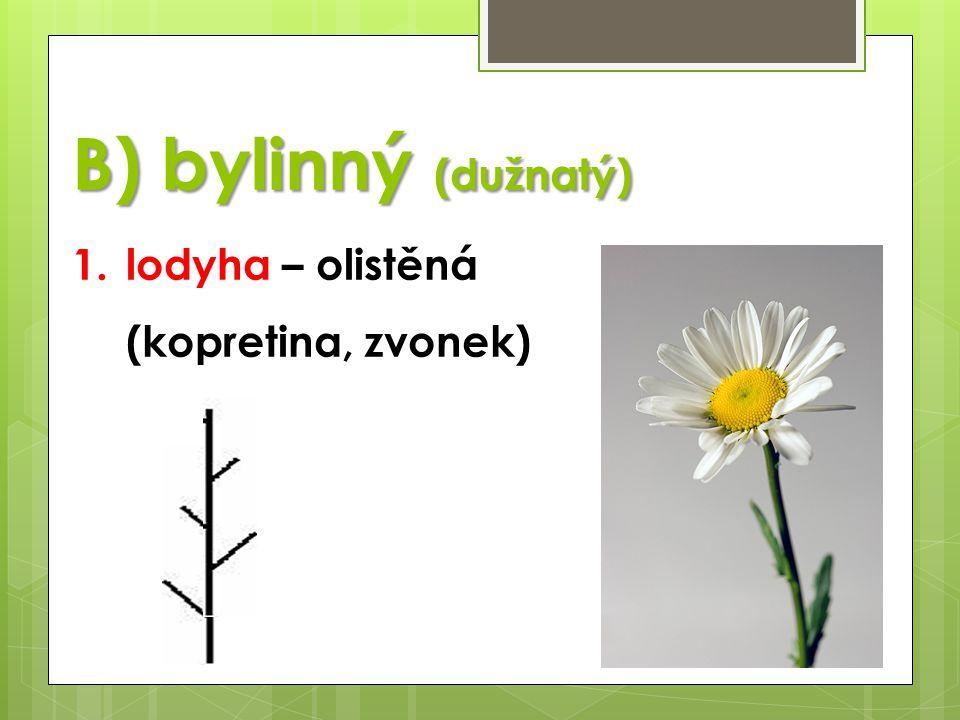 B) bylinný (dužnatý) 1.lodyha – olistěná (kopretina, zvonek)