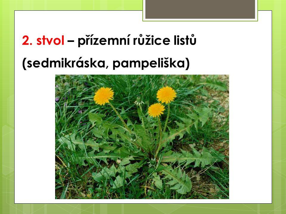 2. stvol – přízemní růžice listů (sedmikráska, pampeliška)