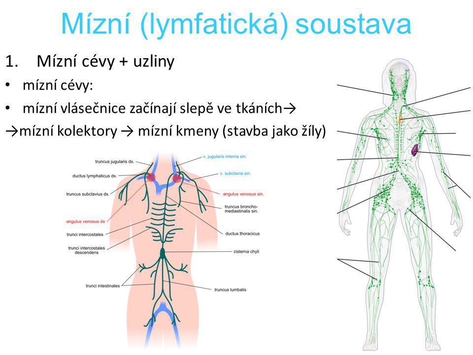 1.Mízní cévy + uzliny mízní cévy: mízní vlásečnice začínají slepě ve tkáních→ →mízní kolektory → mízní kmeny (stavba jako žíly) Mízní (lymfatická) sou
