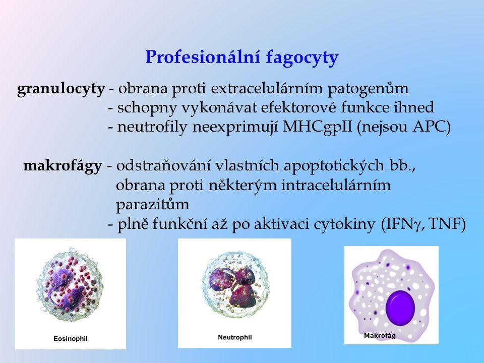 Profesionální fagocyty granulocyty - obrana proti extracelulárním patogenům - schopny vykonávat efektorové funkce ihned - neutrofily neexprimují MHCgp
