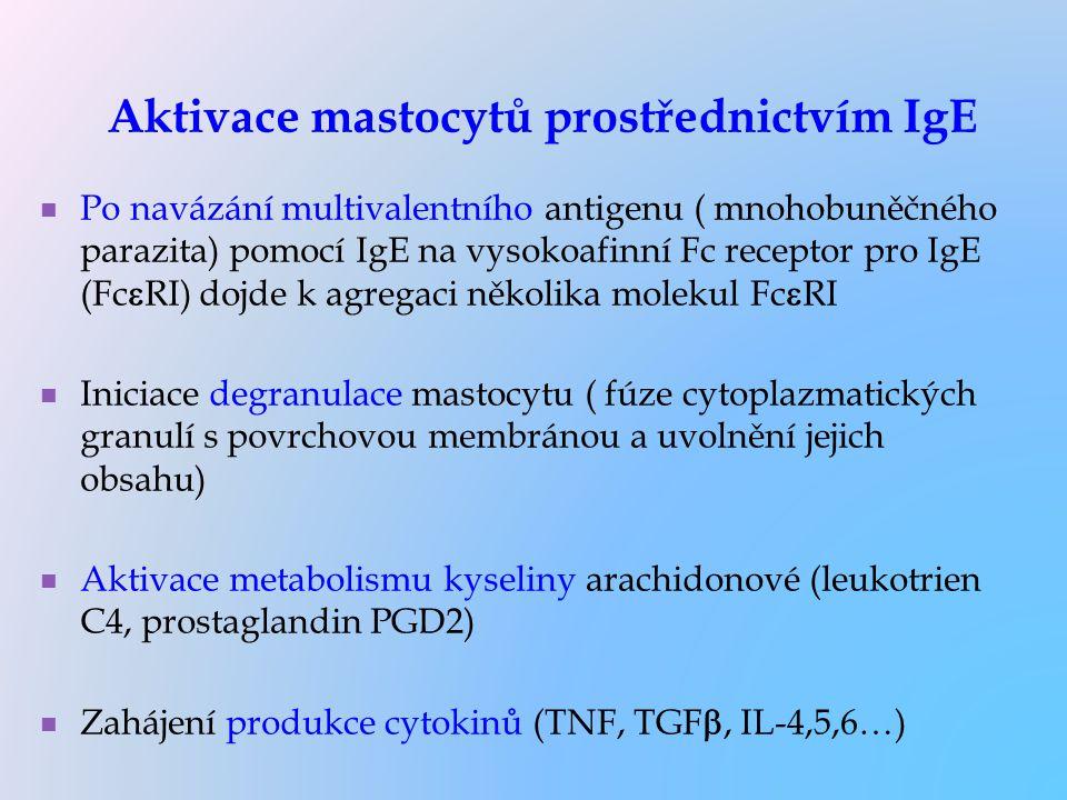 Aktivace mastocytů prostřednictvím IgE Po navázání multivalentního antigenu ( mnohobuněčného parazita) pomocí IgE na vysokoafinní Fc receptor pro IgE