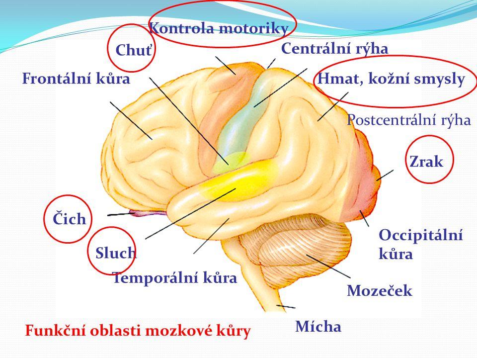 Motorické oblasti kůry Primární motorická oblast (BA4) Vytváří konkrétní pohyby.