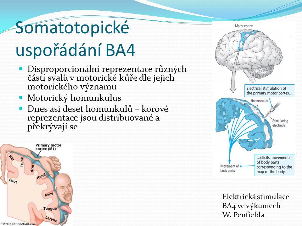 Somatotopické uspořádání BA4 Disproporcionální reprezentace různých částí svalů v motorické kůře dle jejich motorického významu Motorický homunkulus D