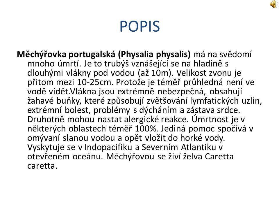 POPIS Měchýřovka portugalská (Physalia physalis) má na svědomí mnoho úmrtí.