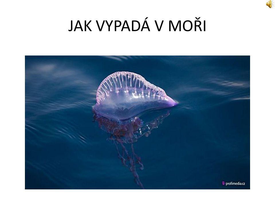 POPIS Měchýřovka portugalská (Physalia physalis) má na svědomí mnoho úmrtí. Je to trubýš vznášející se na hladině s dlouhými vlákny pod vodou (až 10m)