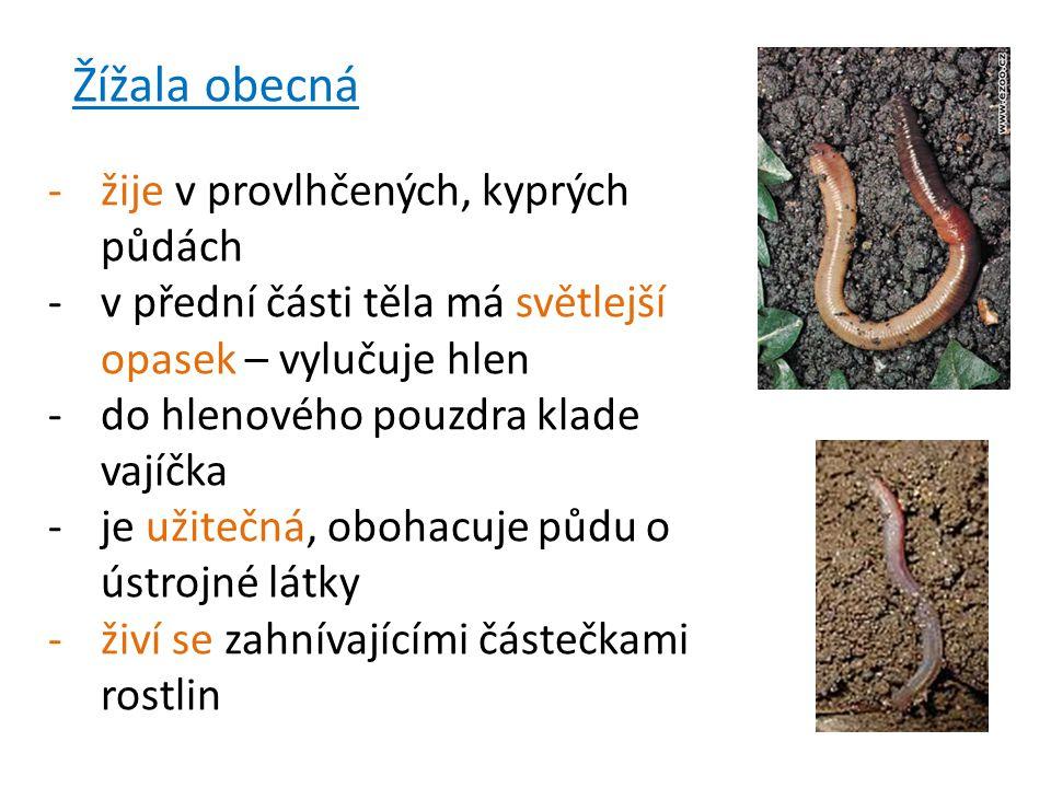 Žížala obecná -žije v provlhčených, kyprých půdách -v přední části těla má světlejší opasek – vylučuje hlen -do hlenového pouzdra klade vajíčka -je užitečná, obohacuje půdu o ústrojné látky -živí se zahnívajícími částečkami rostlin