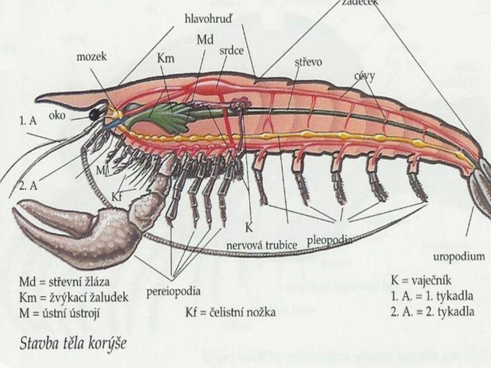 1.Kolik měří a)100-200mm b)130-160 c)60-100 2.Kolik má páru noh a)4 b)6 c)5 3.Kdo je jeho nepřítel a)zajíc b)liška c)vydra 4.Může mu dorůst i oko.