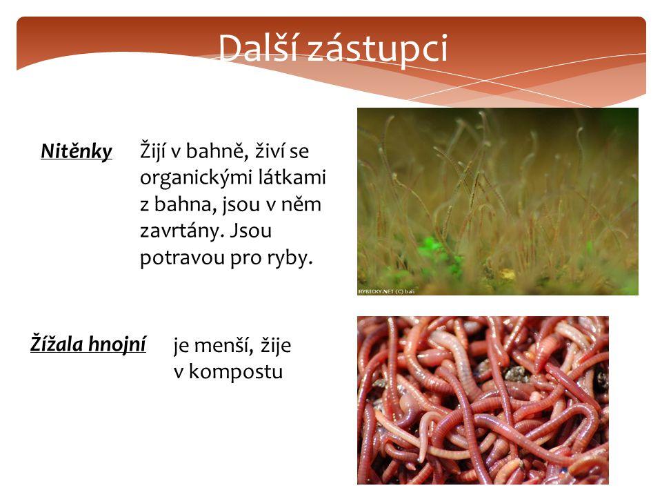 Další zástupci NitěnkyŽijí v bahně, živí se organickými látkami z bahna, jsou v něm zavrtány.