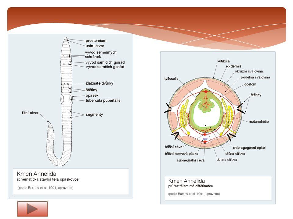 Dýchací soustava – dýchá celým povrchem těla Trávící soustava –začíná ústním otvorem a končí řitním otvorem, prochází jako trubice celým tělem.