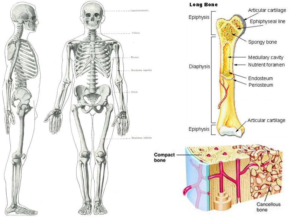 Svaly  Aktivní pohyb – přeměna chemické energie na kinetickou  Flexory / extenzory  Stavba – svalová vlákna (myofibrily) Myofibrila – aktin, myozin Zasouvání aktinových do myozinových vláken (spotřeba ATP) = kontrakce