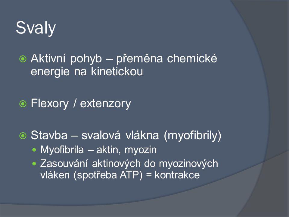 Svaly  Aktivní pohyb – přeměna chemické energie na kinetickou  Flexory / extenzory  Stavba – svalová vlákna (myofibrily) Myofibrila – aktin, myozin
