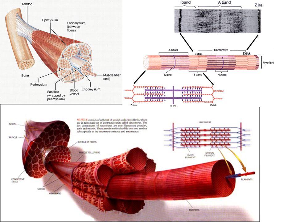 Svaly  Druhy svalstva Příčně pruhované – kosterní svalstvo, ovládané vůlí ○ Svaly končetin, jazyk, dýchací svaly,… ○ Stavba: šlacha, svalové bříško, hlava svalu Hladké – svaly neovládané vůlí, pomalejší kontrakce než příčně pruhované ○ Jícen, žaludek, střeva, cévy, duhovka, děloha, vzpřimovač chlupů,… Srdeční svalovina – podobné příčně pruhovanému svalstvu, vůlí neovladatelné