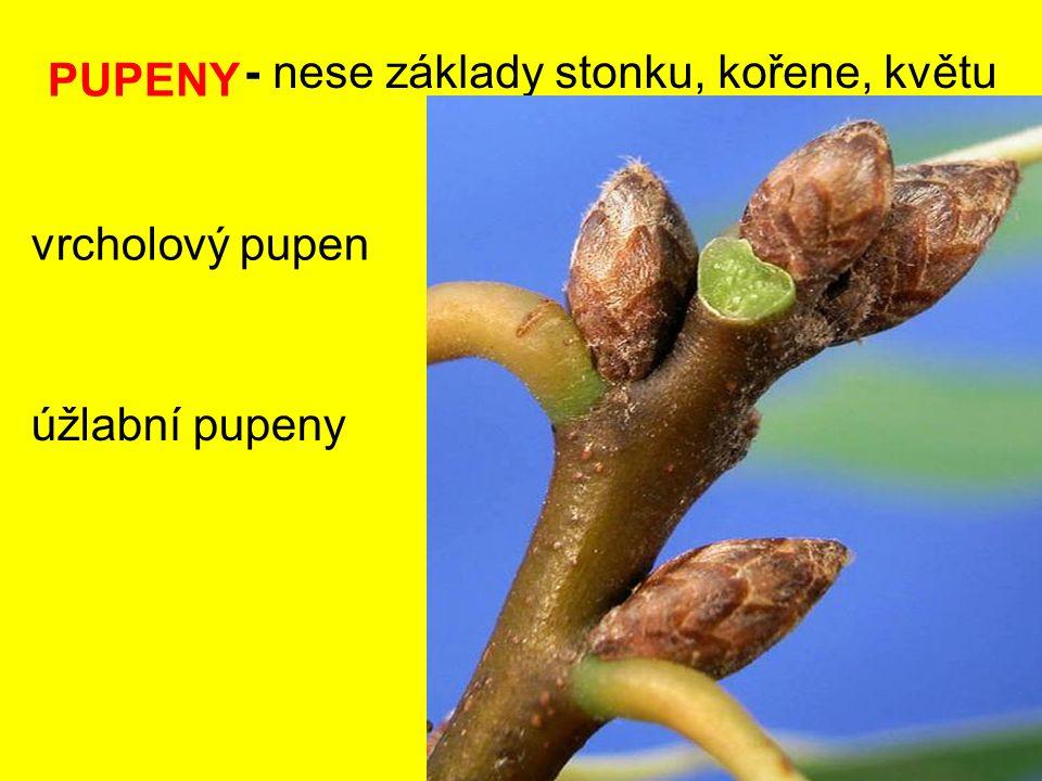 PUPENY - nese základy stonku, kořene, květu vrcholový pupen úžlabní pupeny
