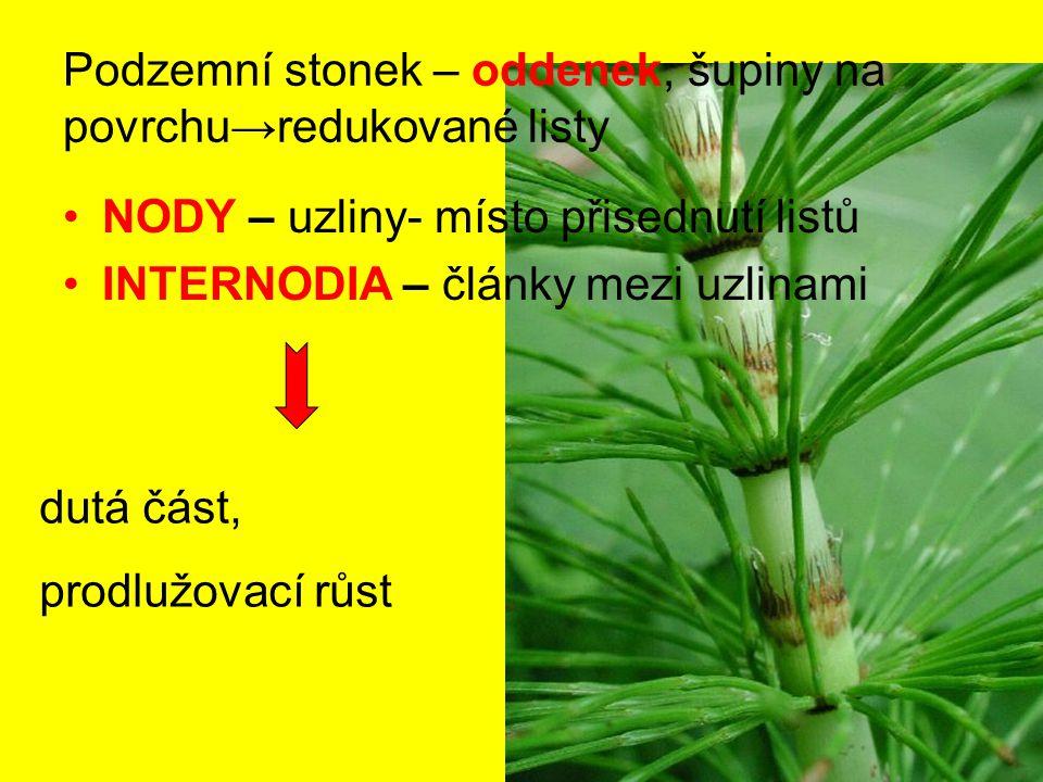 Podzemní stonek – oddenek, šupiny na povrchu→redukované listy NODY – uzliny- místo přisednutí listů INTERNODIA – články mezi uzlinami dutá část, prodl