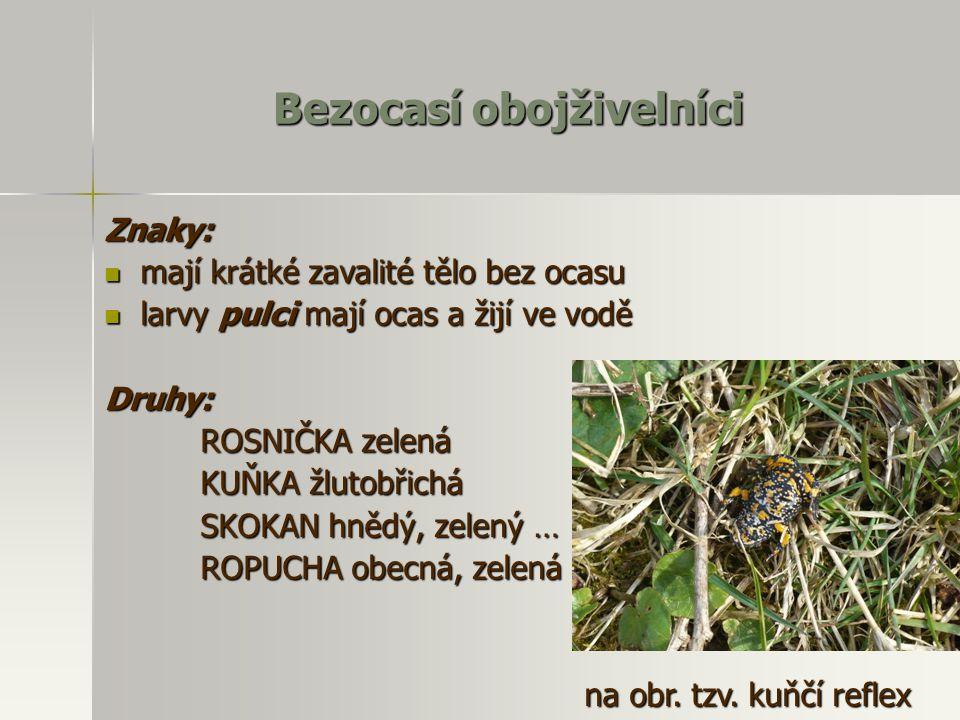 Bezocasí obojživelníci Znaky: mají krátké zavalité tělo bez ocasu mají krátké zavalité tělo bez ocasu larvy pulci mají ocas a žijí ve vodě larvy pulci mají ocas a žijí ve voděDruhy: ROSNIČKA zelená KUŇKA žlutobřichá SKOKAN hnědý, zelený … ROPUCHA obecná, zelená … na obr.