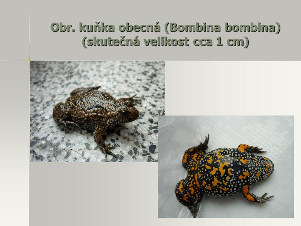 Obr. kuňka obecná (Bombina bombina) (skutečná velikost cca 1 cm)