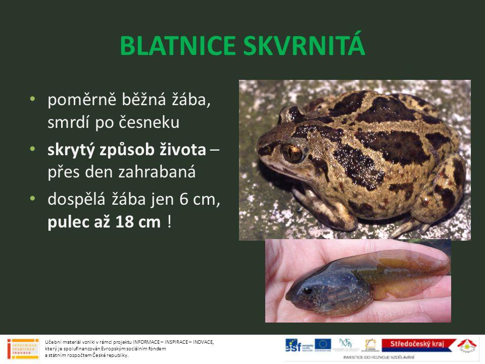 BLATNICE SKVRNITÁ poměrně běžná žába, smrdí po česneku skrytý způsob života – přes den zahrabaná dospělá žába jen 6 cm, pulec až 18 cm ! Učební materi