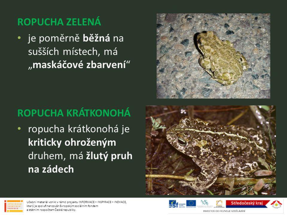 """ROPUCHA ZELENÁ je poměrně běžná na sušších místech, má """"maskáčové zbarvení"""" ROPUCHA KRÁTKONOHÁ ropucha krátkonohá je kriticky ohroženým druhem, má žlu"""