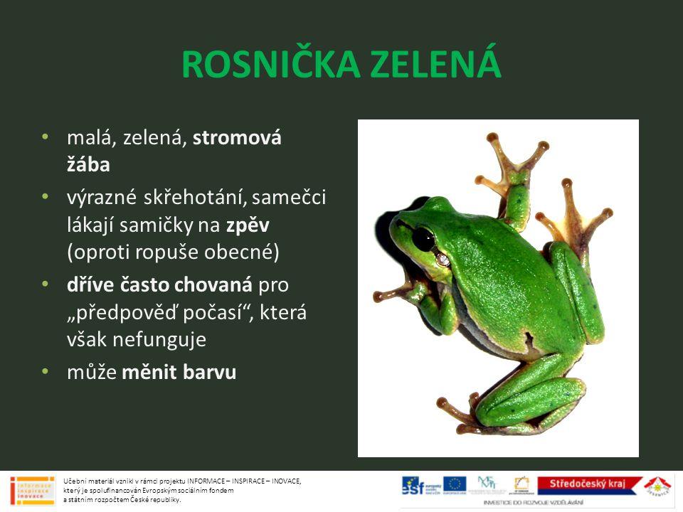 """ROSNIČKA ZELENÁ malá, zelená, stromová žába výrazné skřehotání, samečci lákají samičky na zpěv (oproti ropuše obecné) dříve často chovaná pro """"předpov"""
