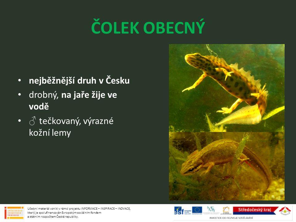 ČOLEK OBECNÝ nejběžnější druh v Česku drobný, na jaře žije ve vodě ♂ tečkovaný, výrazné kožní lemy Učební materiál vznikl v rámci projektu INFORMACE –