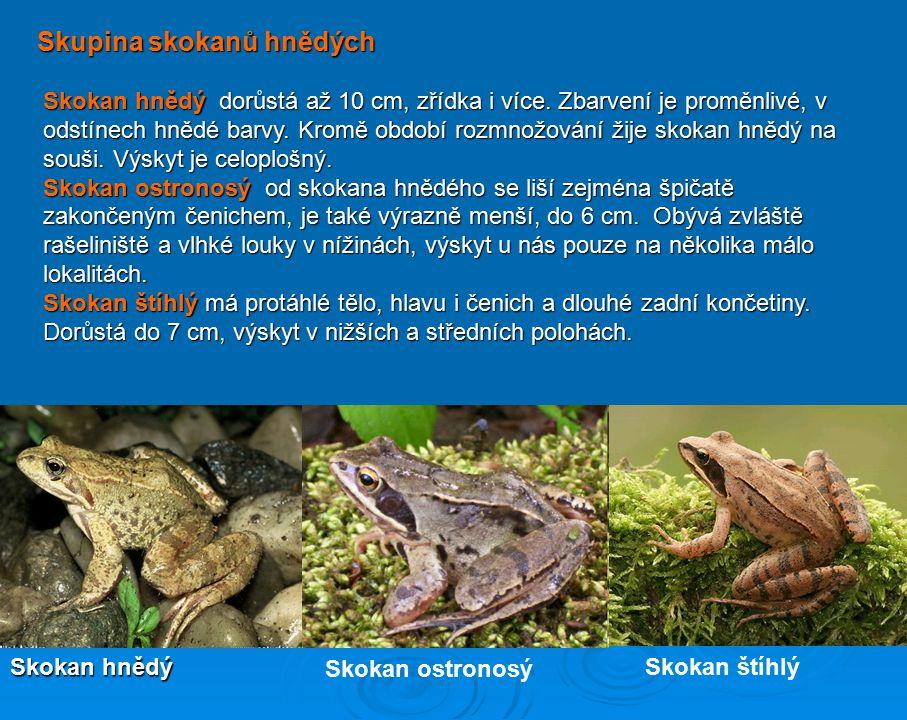 Čeleď skokanovití Skokani mají nohy nejlépe přizpůsobeny ke skákání, jejich dlouhé nohy umožňují skoky o délce až 1 m a také velmi dobré plavání a pot